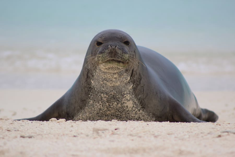 Midway Monk Seal