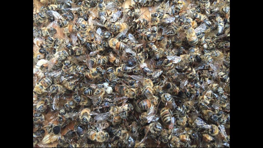 01 Zika spraying kills millions of bees