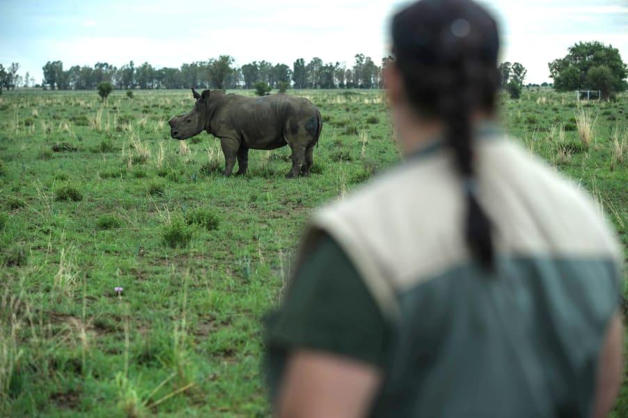 rhino dehorning 9