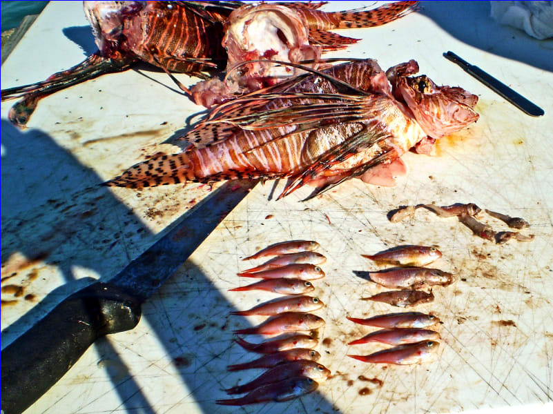lionfish dissection