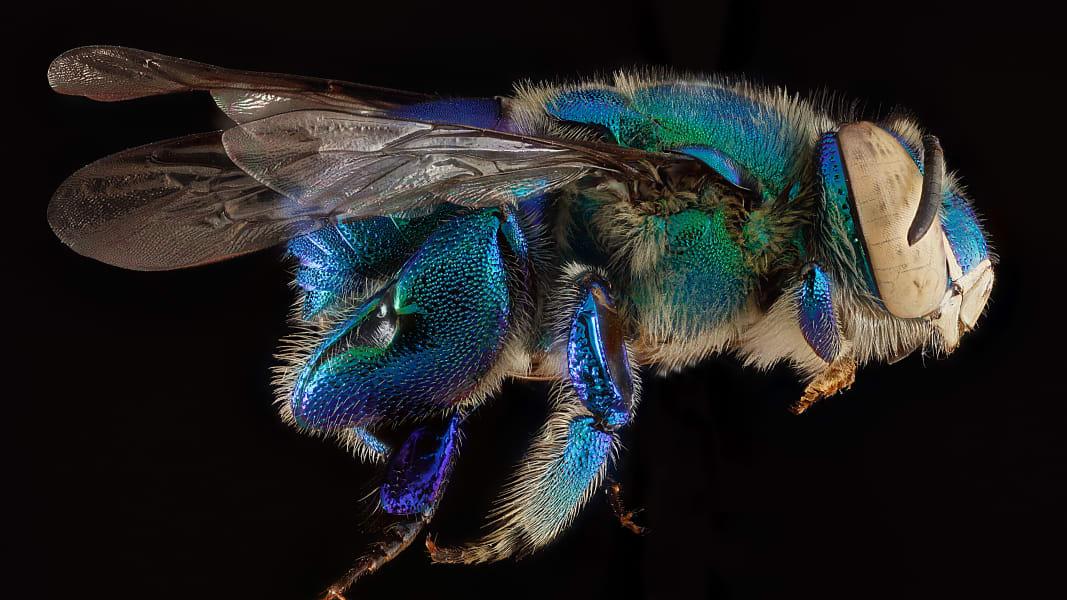 03 vanishing sutter franklins bee