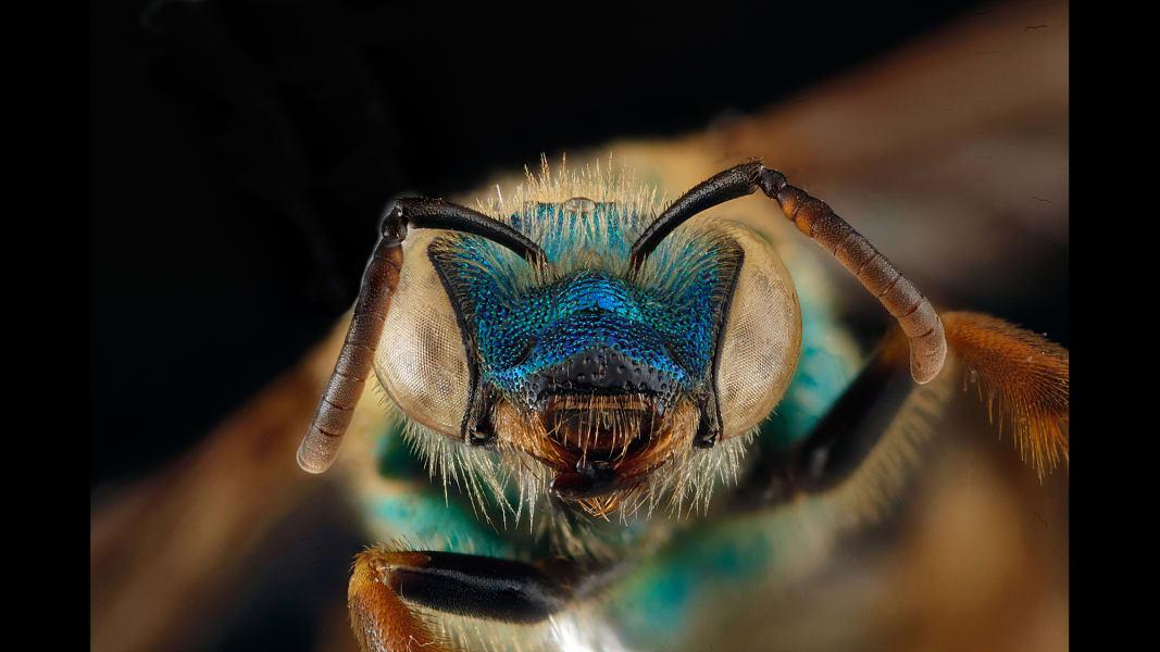 04 vanishing sutter franklins bee