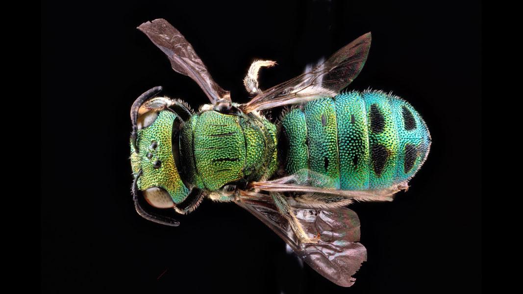 05 vanishing sutter franklins bee