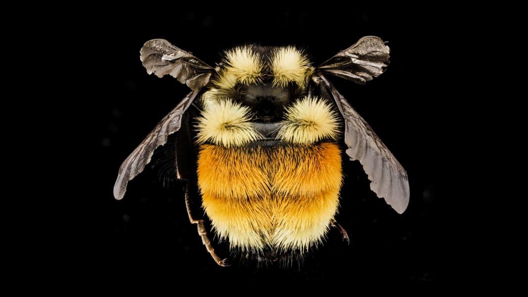 06 vanishing sutter franklins bee