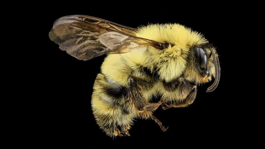 07 vanishing sutter franklins bee