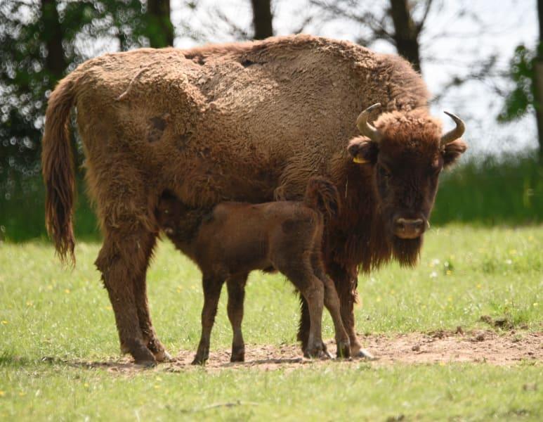 euro bison