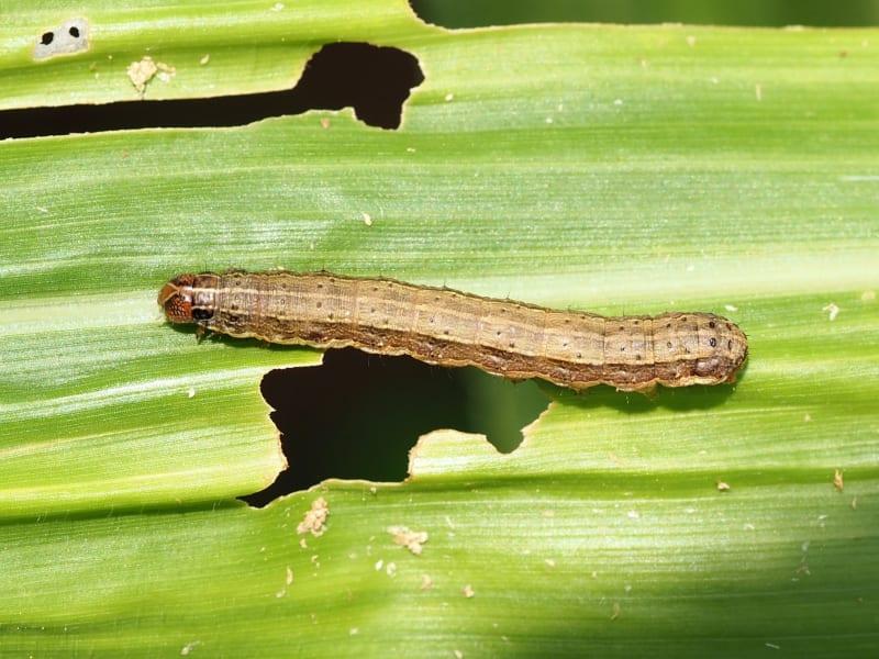fall armyworm 2