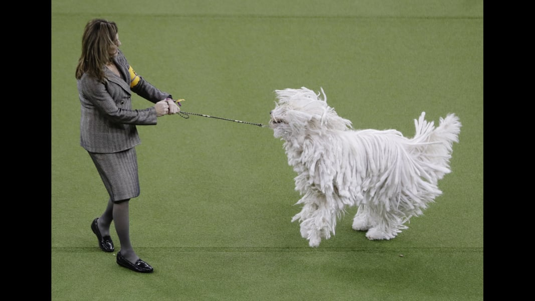 Westminster Kennel Club dog show 2017