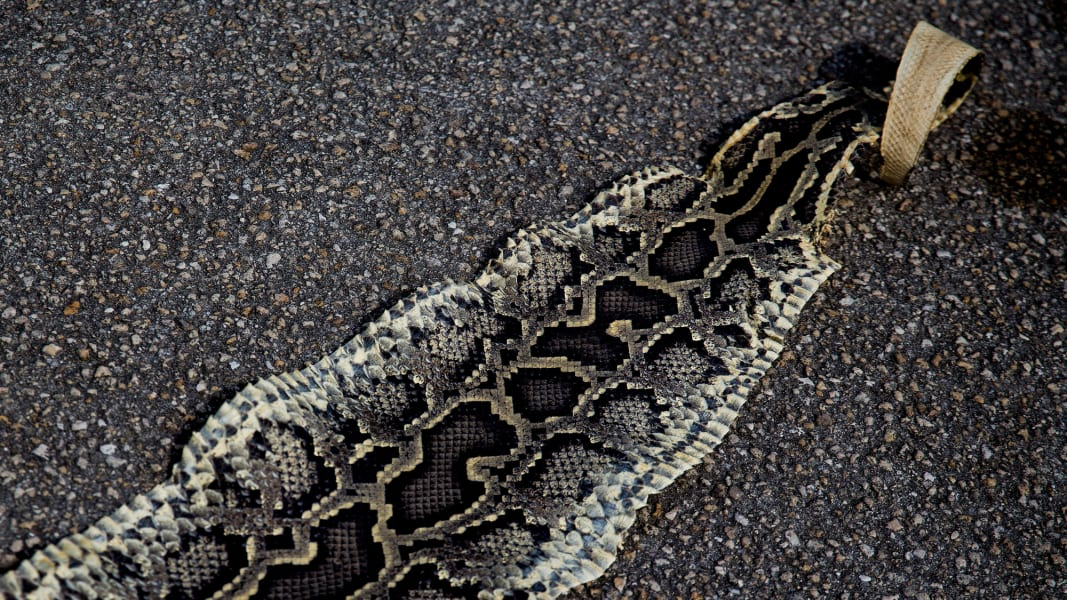 02 florida python hunt