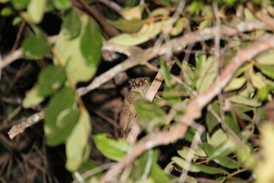 Galagoides demidovii_Elena Bersacola
