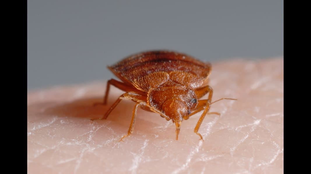 01_bed bugs_Bed Bug feeding JPG