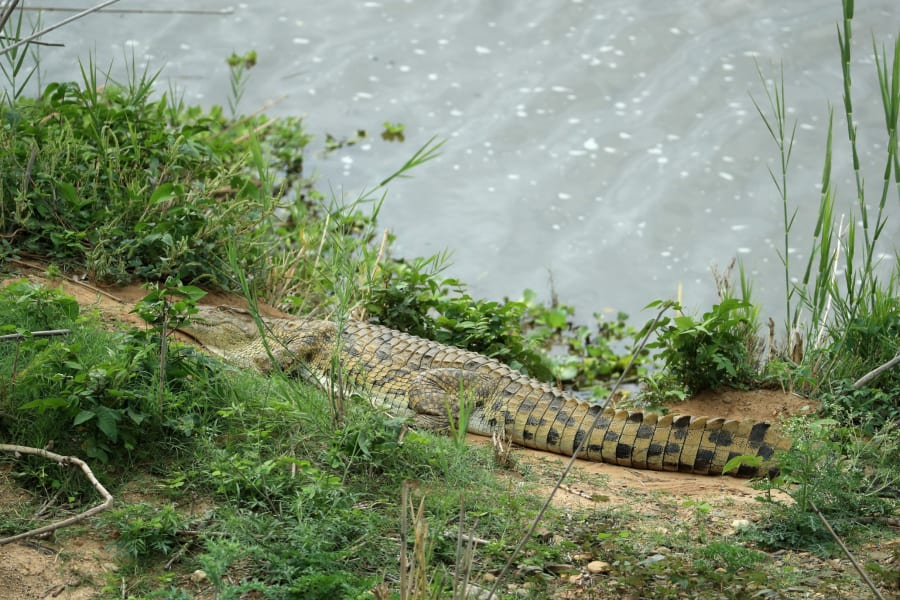Legend Golf crocodile