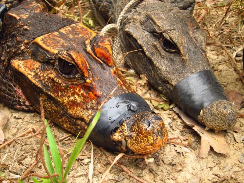 orange crocodiles gabon 1