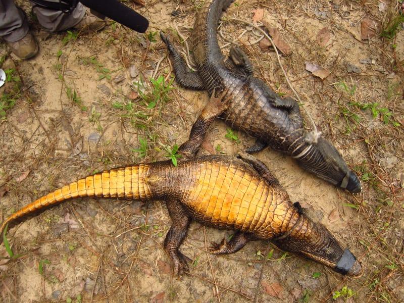 orange crocodiles gabon 2