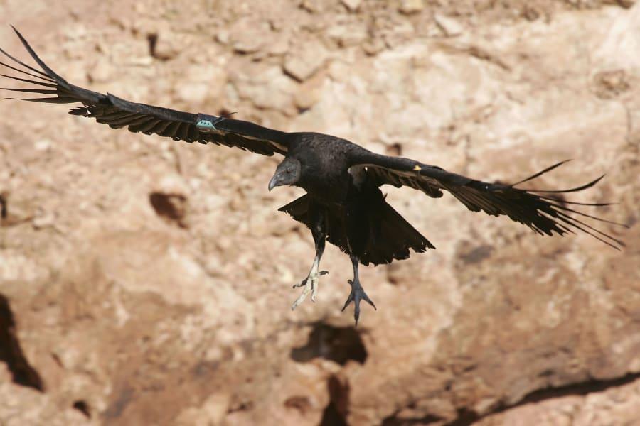 10 endangered species act california condor