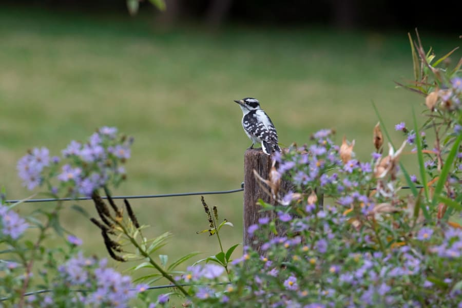 Birding Downy Woodpecker