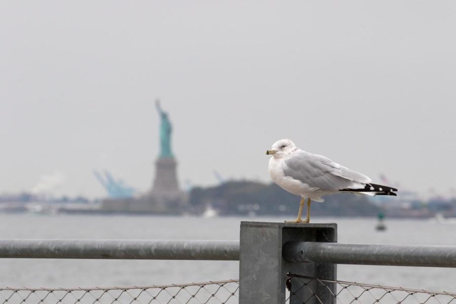 Birding Ring billed gull