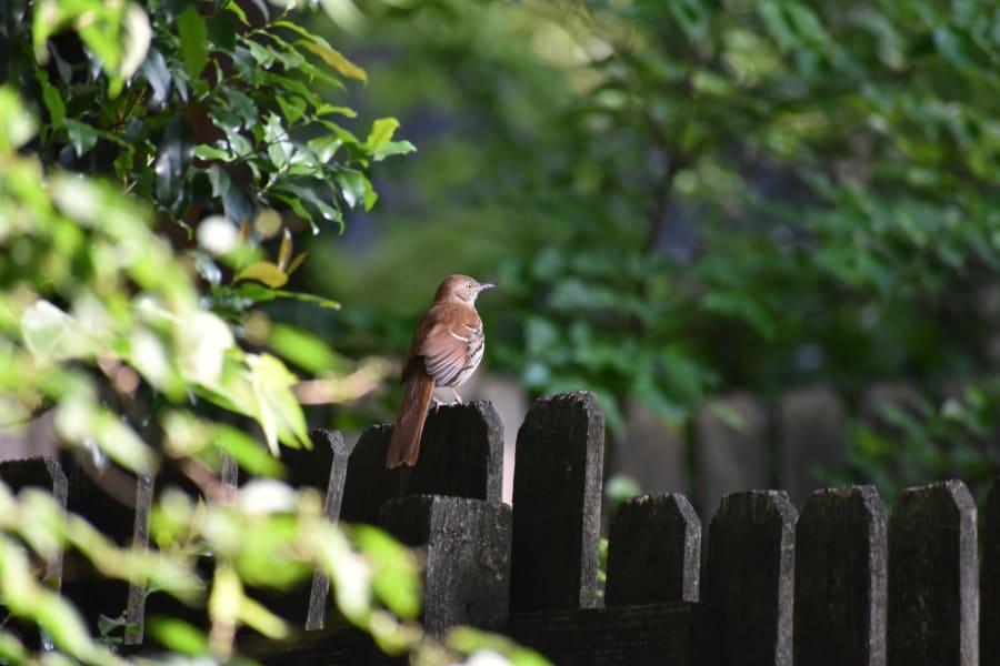 Birding brown thrasher