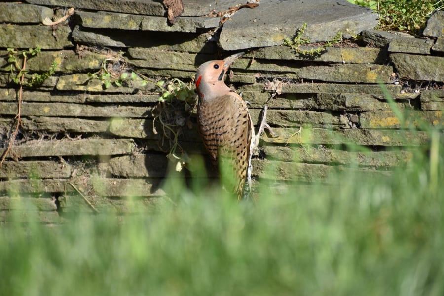 Birding Northern Flicker
