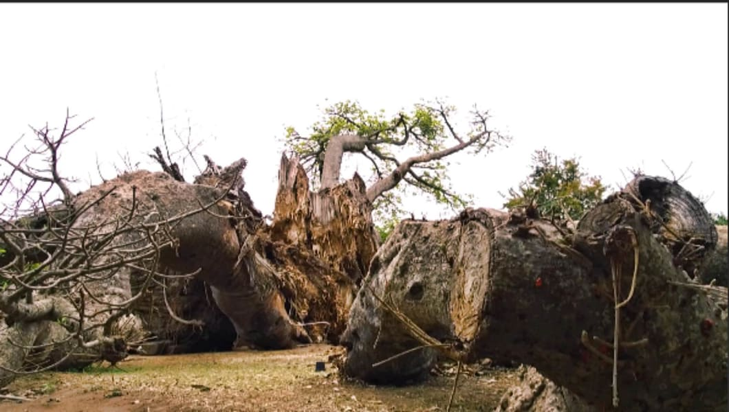 Why are baobab trees in Southern Africa dying?