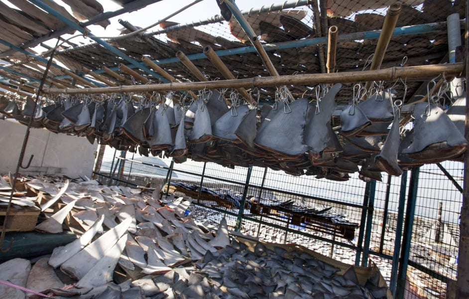 shark fin drying 2