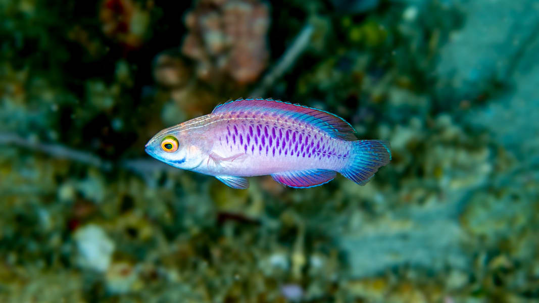 03 wakanda new fish species