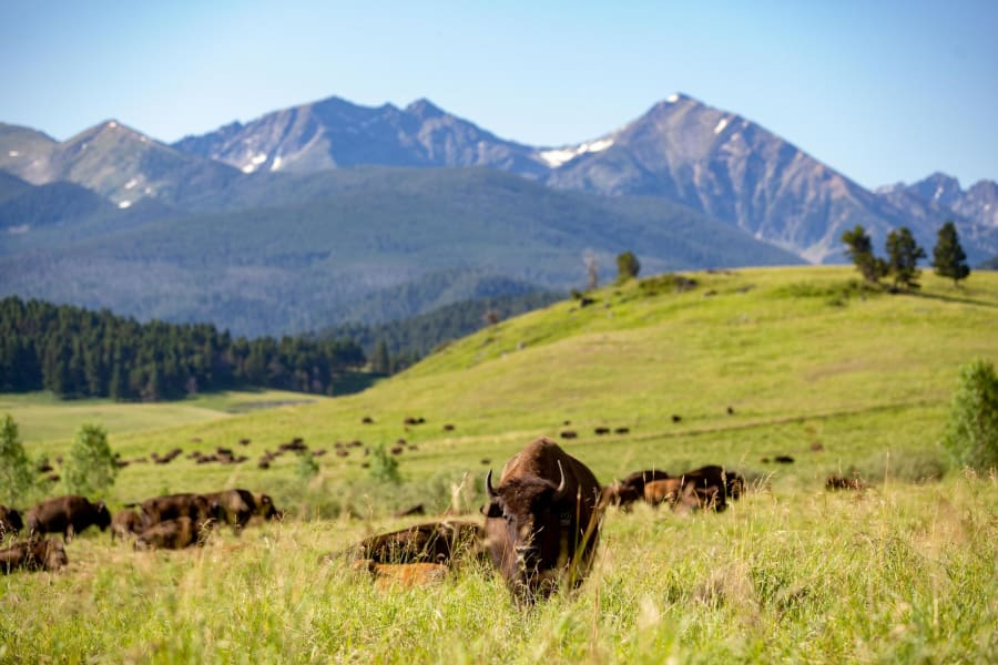 ted turner bison close mountains