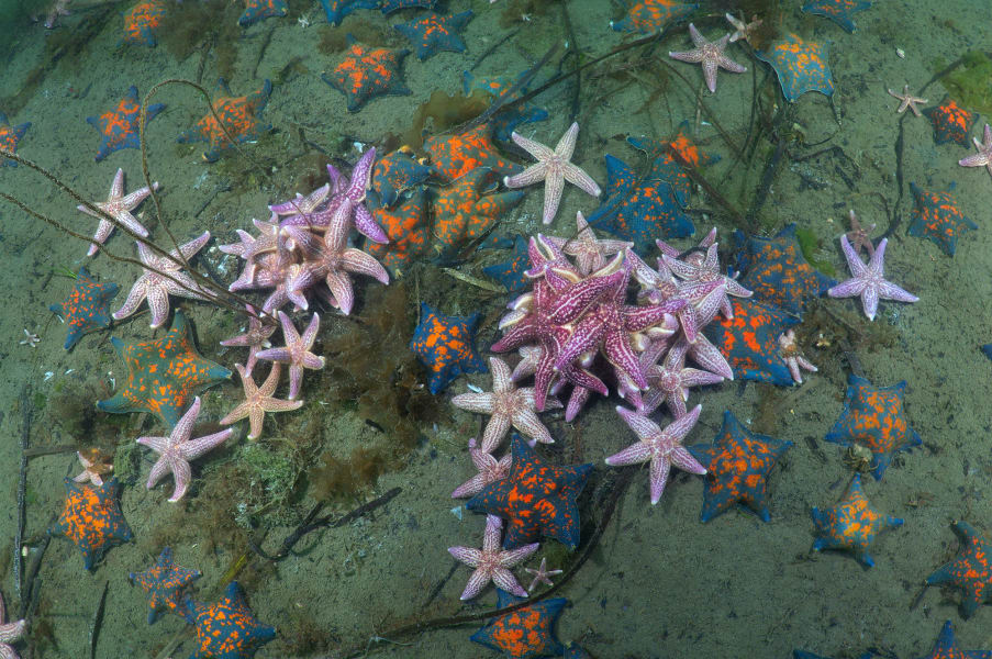 01 invasive species gallery Northern Pacific Seastar RESTRICTED