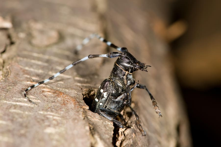 02 invasive species Asian Longhorn Beetle RESTRICTED
