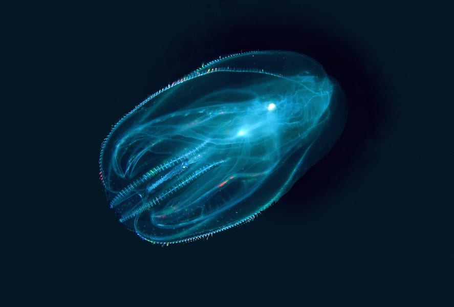 03 invasive sepcies Warty Comb Jelly RESTRICTED