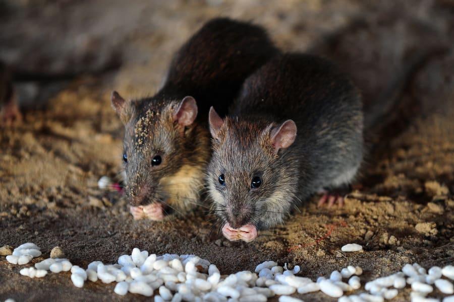 09 invasive rats