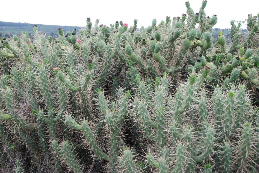 invasive cactus 4