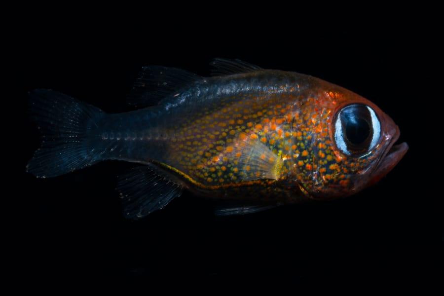 10 new species 2019 Siphamia arnazae