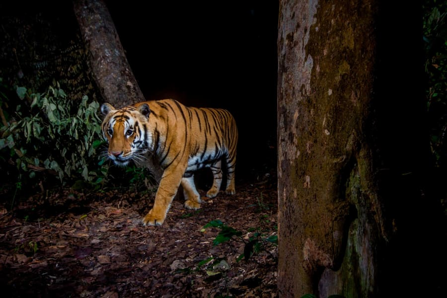 tiger bardia nepal taken by camera trap wildlife insights