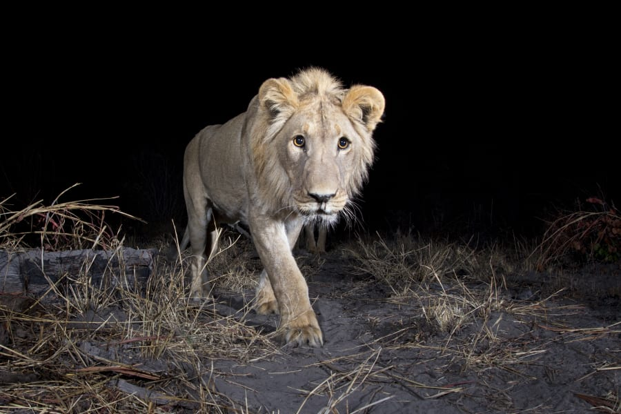 lion wildlife insights
