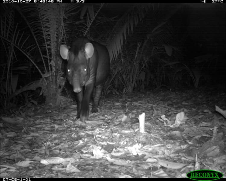 wildlife insights lowland tapir