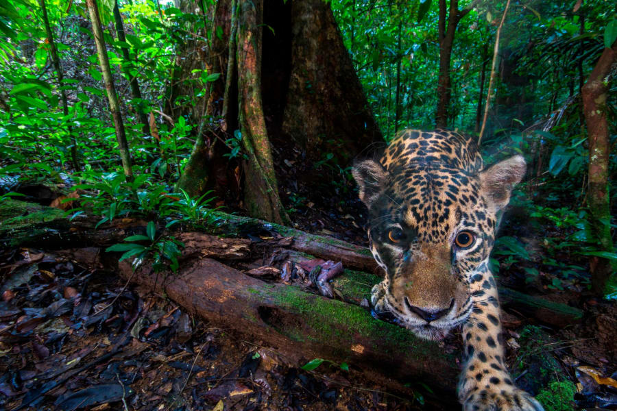 jaguar wildlife insights 2