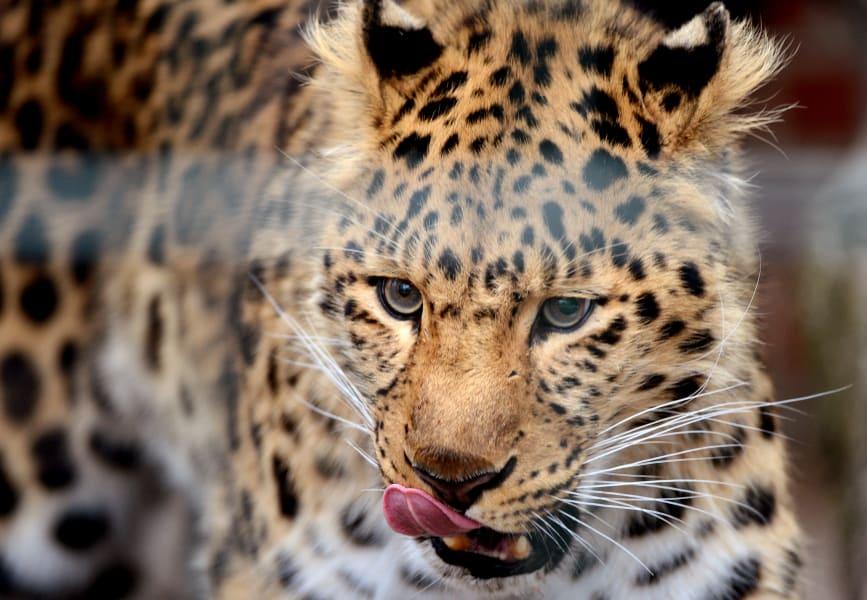captive breeding leopard intl