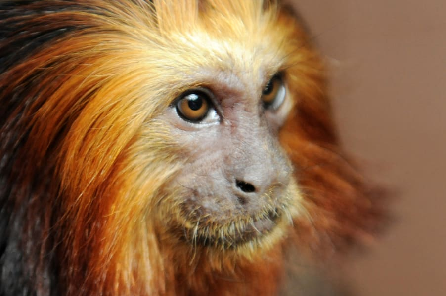 captive breeding golden lion intl
