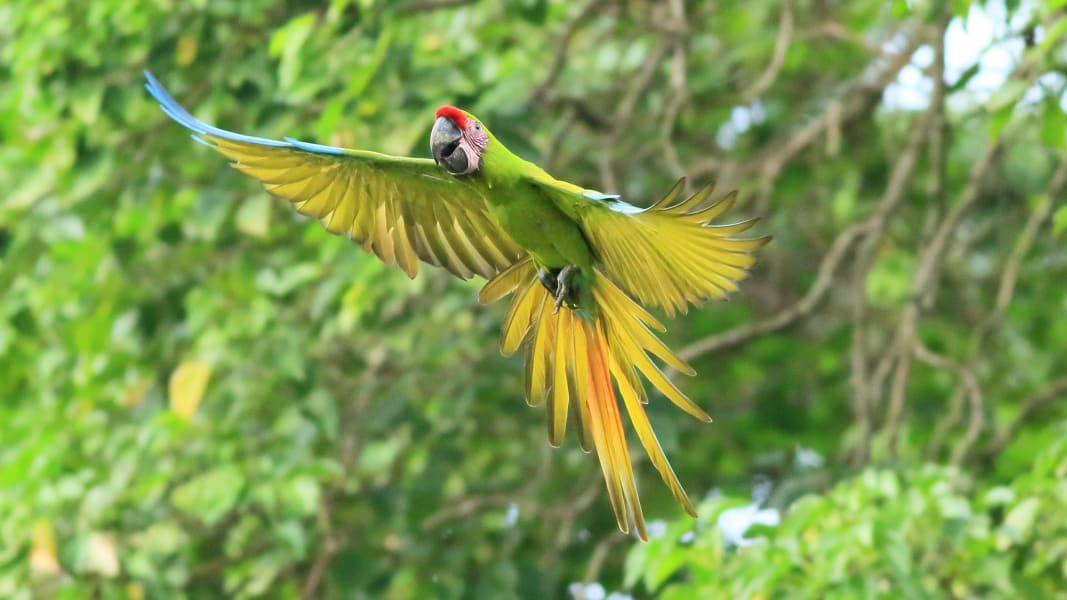 02 great green macaw