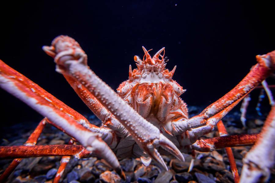 07 weird invertebrates japanese spider crab