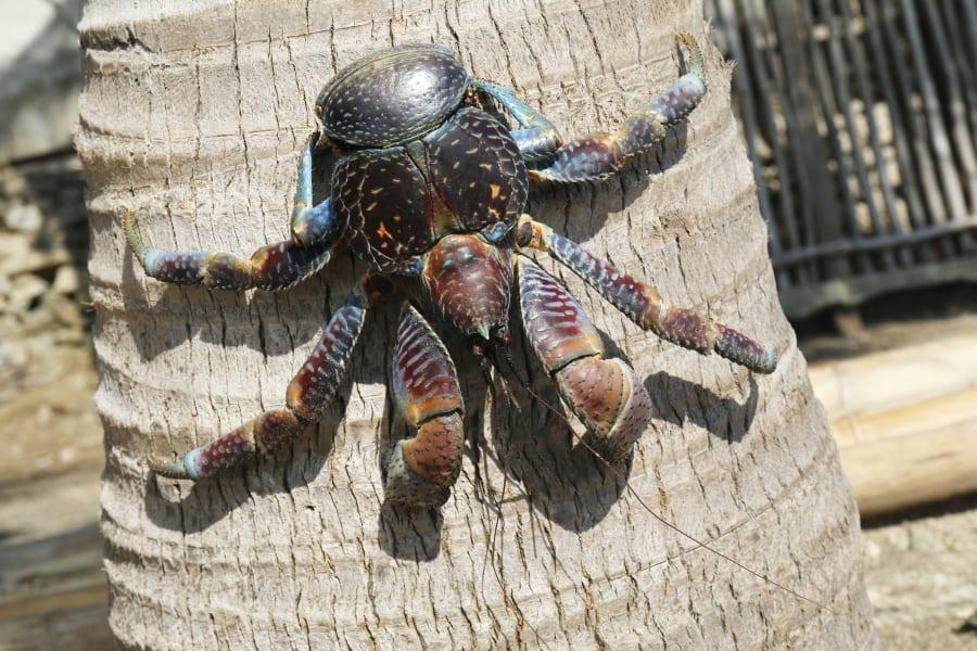 05 weird invertebrates coconut crab