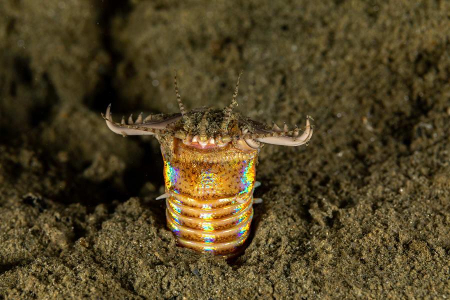 01 weird invertebrates Bobbitt worm