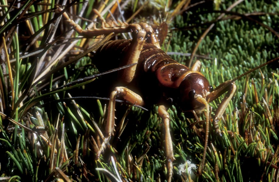 06 weird invertebrates giant weta