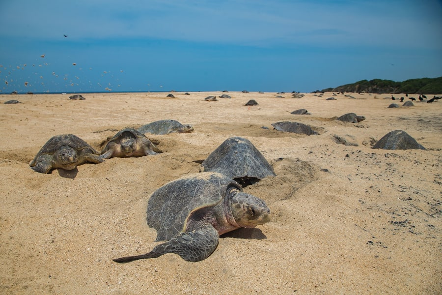 olive ridley turtle mexico