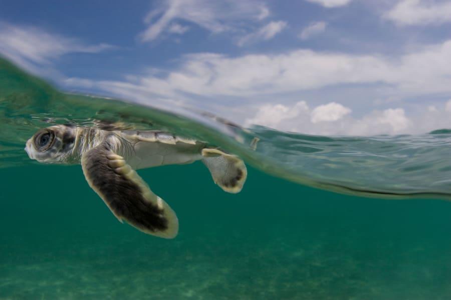 flatback turtle 01
