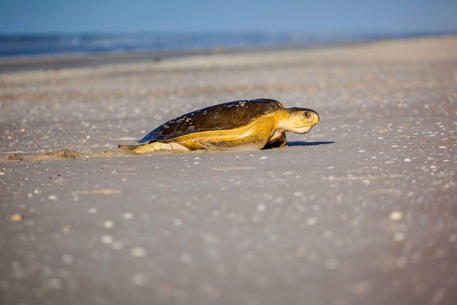 flatback turtle 02