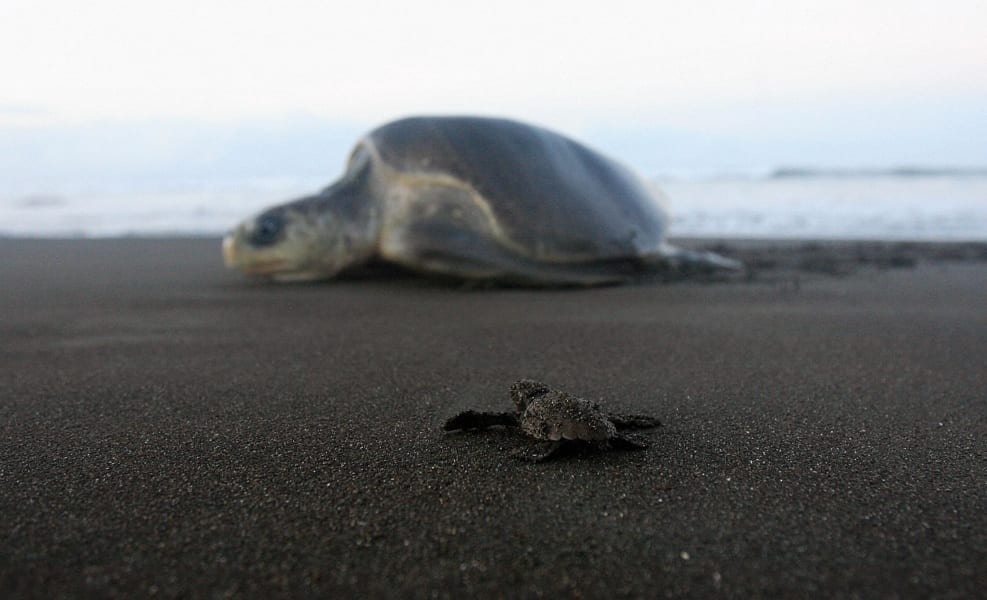 kemps ridley turtle costa rica file