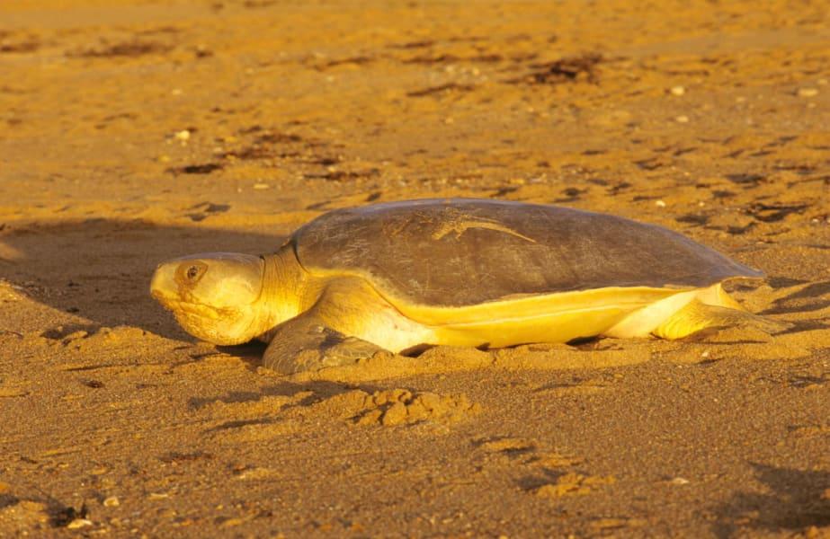 flatback turtle 03