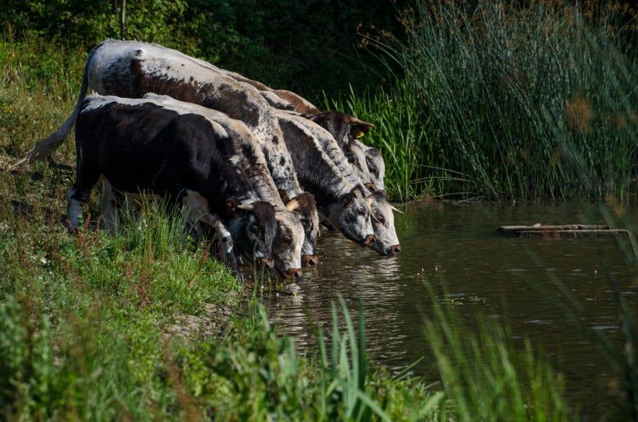 knepp farm rewilding cows drinking